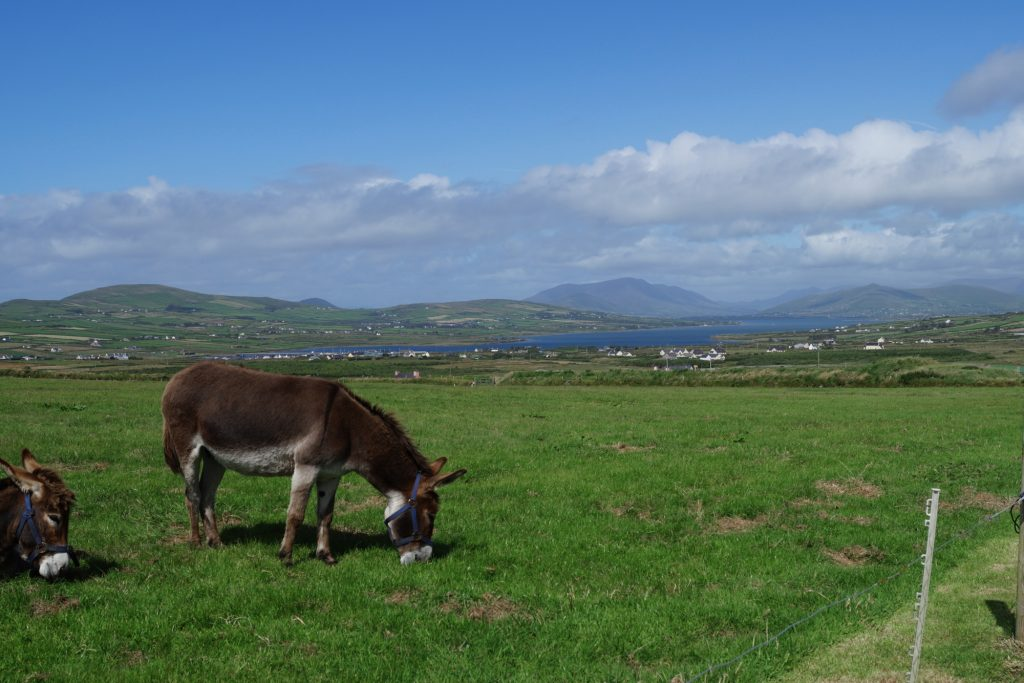 Donkeys on Kerry Cliffs | schabakery.com